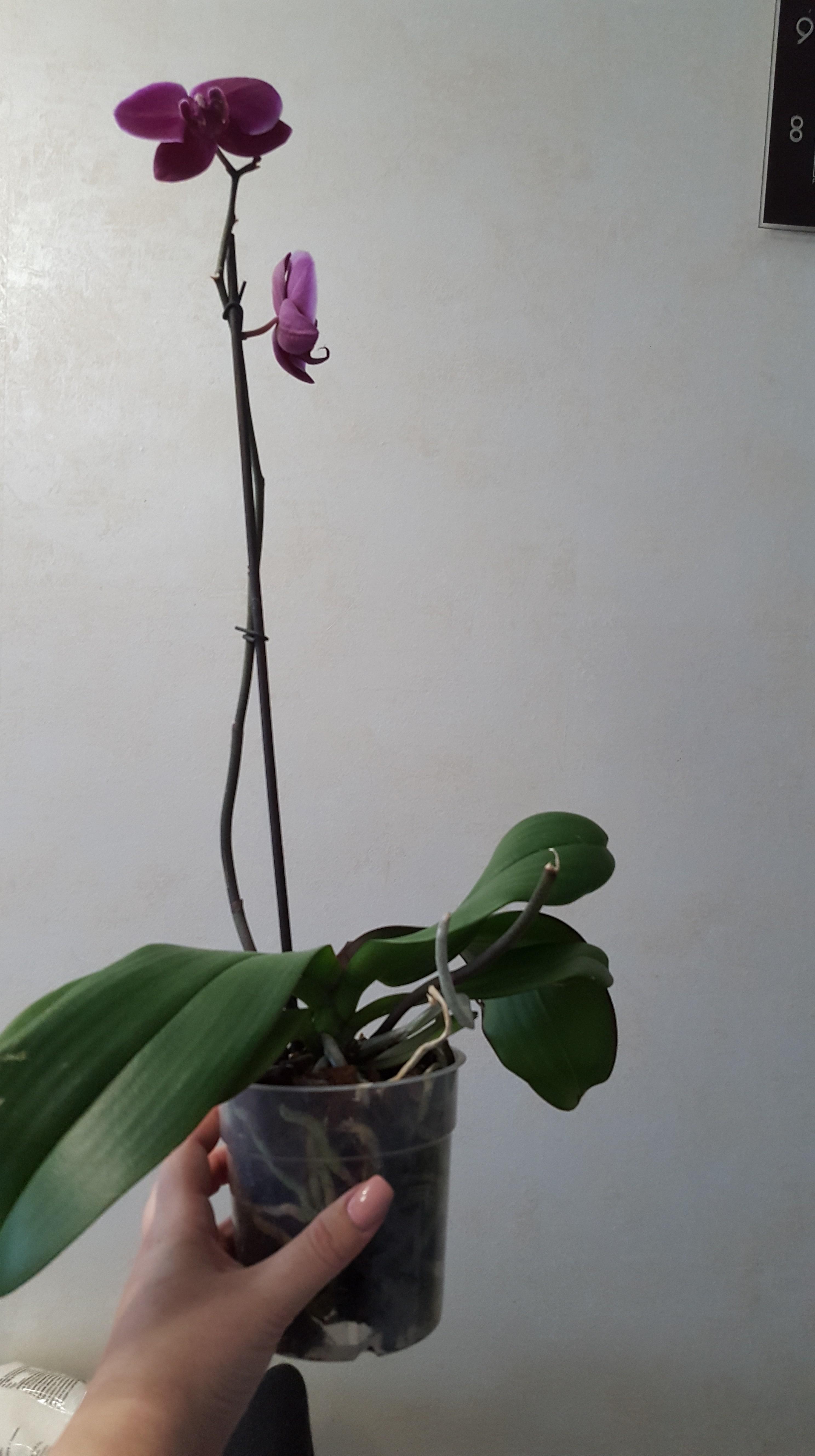 Куплена орхідея