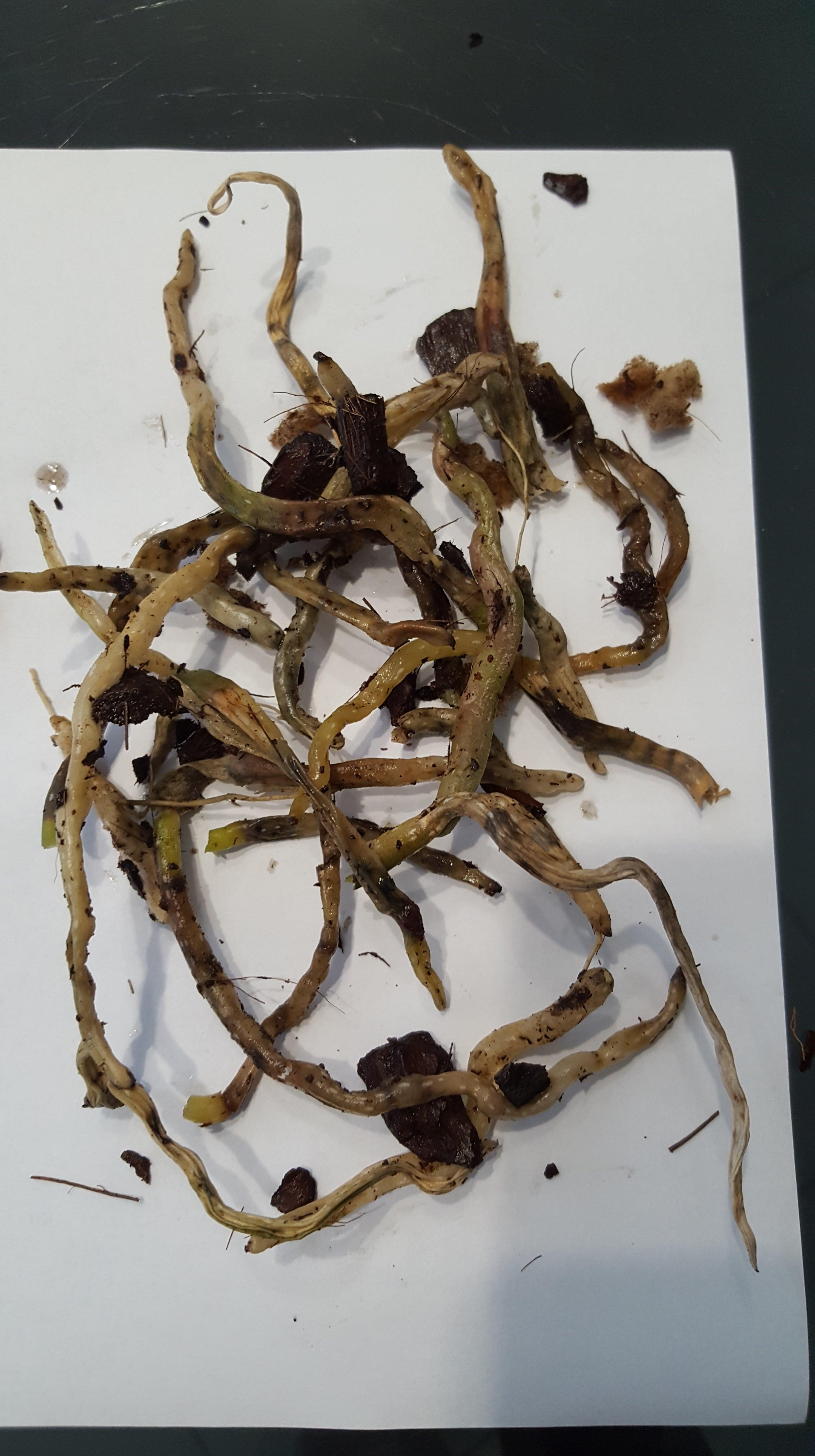 Обрізане коріння