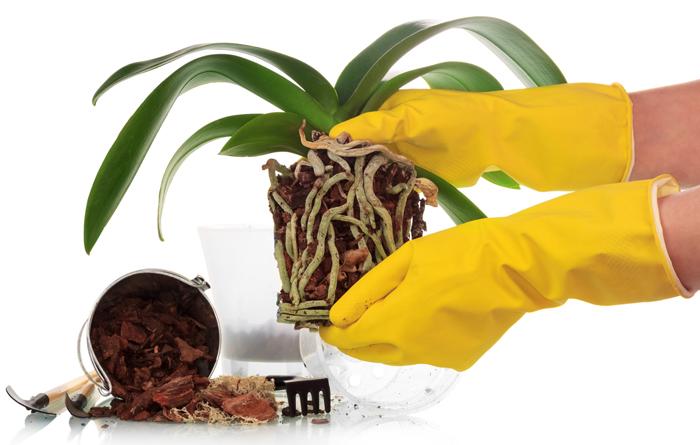 Правильна пересадка орхідеї (прозорий пластиковий горщик), кора
